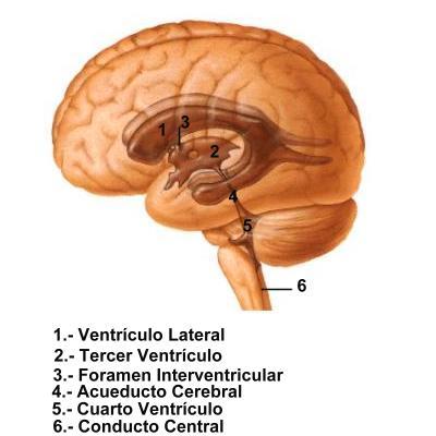 cuarto_ventriculo [Neurocirugía Contemporánea]