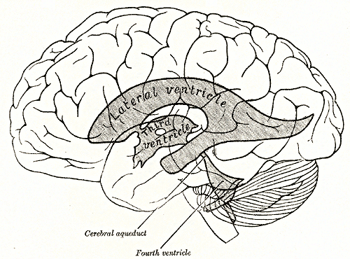 ventriculolateral.png